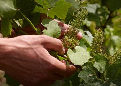 Fradé grapes