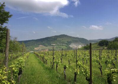 Fradé vineyard
